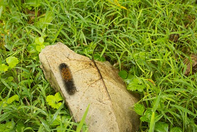 Wooly Bear Caterpillar on Leaf