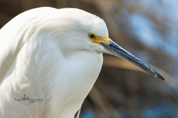 Snowy Egret at Veterans Oasis, Chandler AZ (19 January 2015)