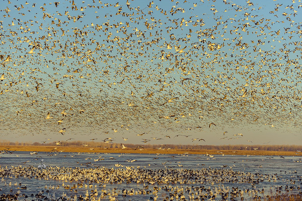 Snow Geese Moving North, Squaw Creek Wildlife Refuge MO (18 February 2013)