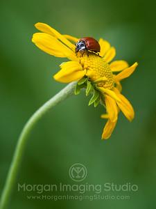 Sneezeweed & Ladybug, Hart Prairie