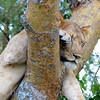 Tree Climbing Lions of Uganda