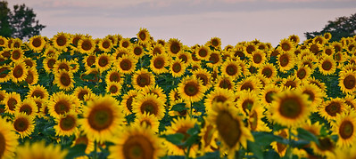 Sunflowers at McKee-Beshers WMA Maryland -9