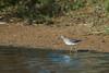 Sharp-tailed Sandpiper