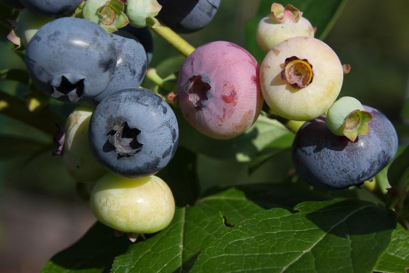 Fresh Blueberries, Summer 2011.