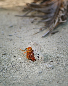 Hermit Crab, Aitutaki, Cook Islands