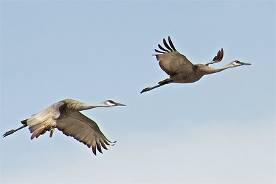 Two Sandhill Cranes in Flight