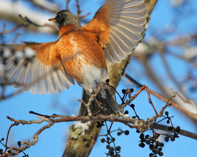 Robin in flight.