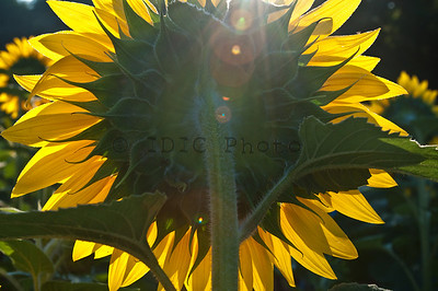 Sunflowers at McKee-Beshers WMA Maryland -19