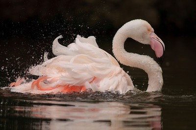 Greater Flamingo at Adelaide Zoo