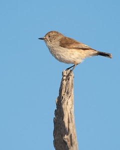 Chesnut-rumped Thornbill