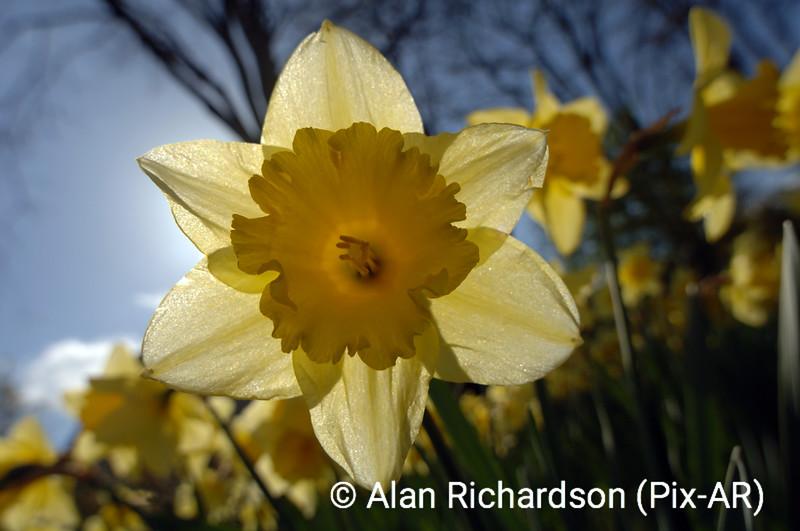 3_Daffodils_AR