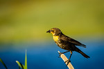 Yellow-headed Blackbird, Femaie, with insect at Echo Canyon Reservoir