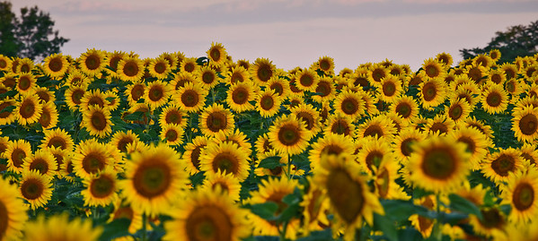 Sunflower Panorama-2