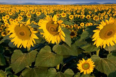 Sunflower Field, Longmont, Colorado