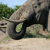 African Elephant in Uganda on the Nile River