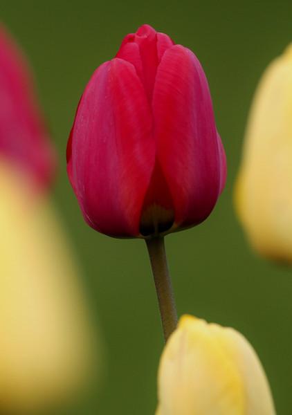 4-29 tulips