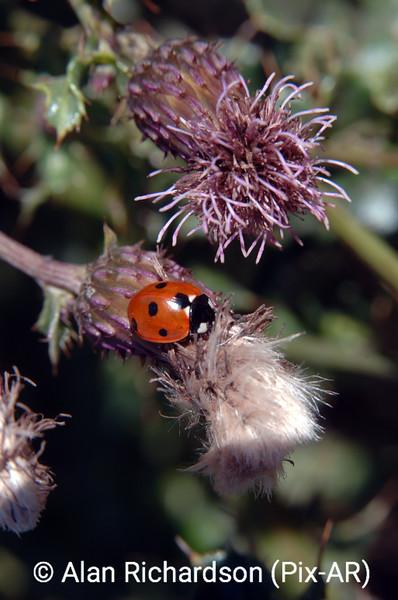 1_lady_Bug_AR