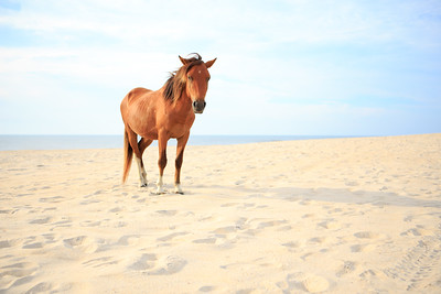 Assateague Pony || Assateague National Seashore, MD
