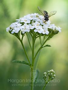 Hemlock & Bee