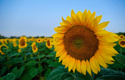 Sunflowers at McKee-Beshers WMA Maryland -1