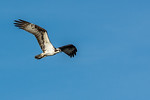 Osprey in flight #2
