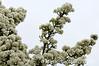 1_Pear_Blossom_AR