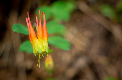 It's Columbine season in the Rockies, and the trails are lined with these small jewels.  Red columbine, Aquilegia elegantula