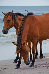 Wild Ponies in Assateague Island, Maryland Landscape
