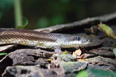 Grey (Black) Ratsnake (Pantherophis vulpinus)
