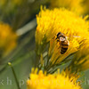 European Honeybee on Rabbitbrush (Ericameria nauseosa)
