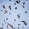 Red-winged Blackbird Flock in Flight In a Blue Sky