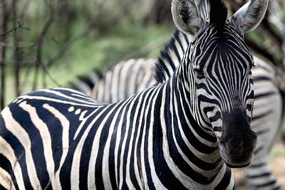 Wild Zebra seen in northern South Africa