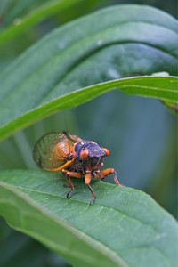 Brood X Cicada (Hemiptera)