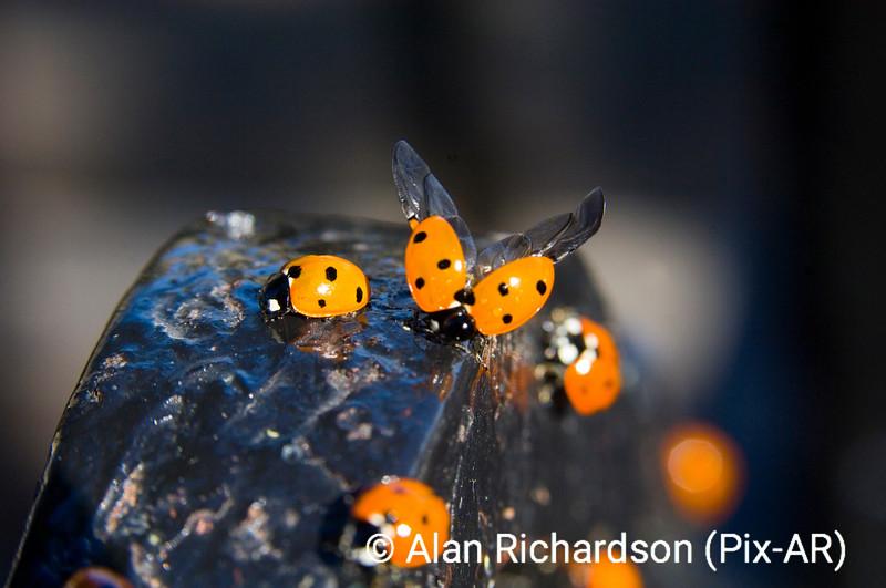 1_ladybirds_AR