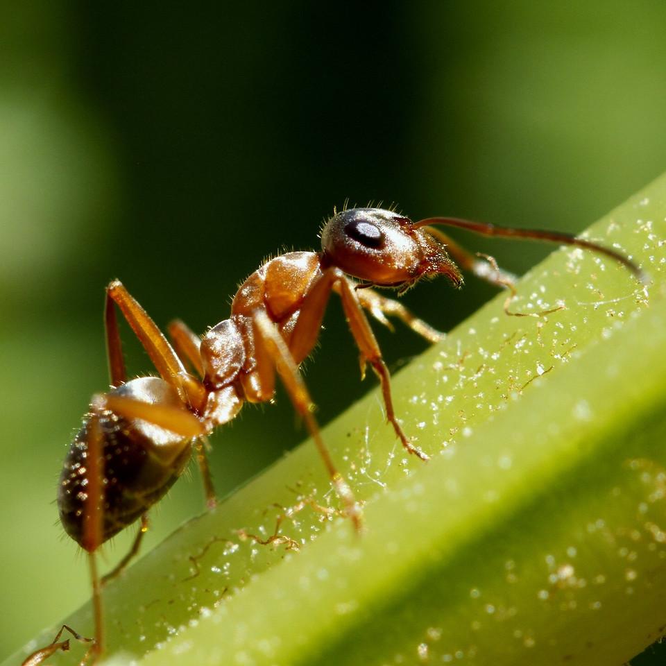 7-2 Ant