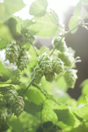 First Annual Pick-Your-Own Hops