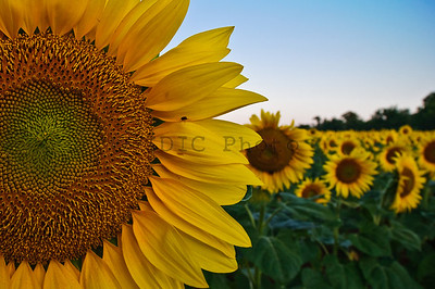 Sunflowers at McKee-Beshers WMA Maryland -8