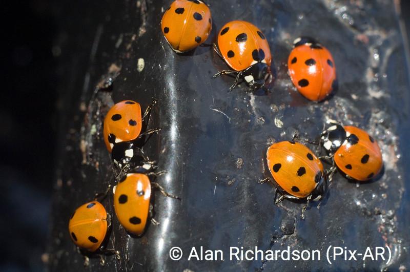 3_ladybirds_AR