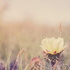 Prickly Pear Cactus Bloom with Field in the Background