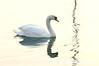 3_Swan_AR