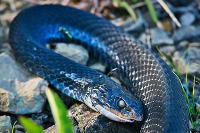 Black Racer Watersnake