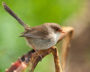 Female Superb fairy-wren at Werribee Zoo