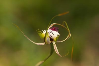 King Spider Orchid (Caladenia pectinata)
