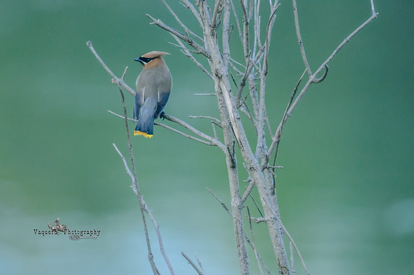 Cedar Waxwing, Saylorville Lake Area IA (22 August 2009)