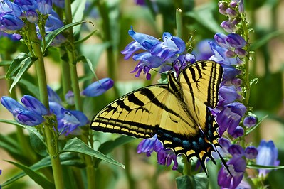 Swallowtail and Penstemon