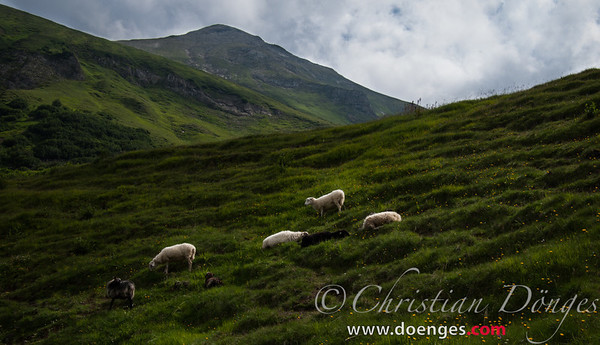 Sheep grazing on the side of a grassy mountain.