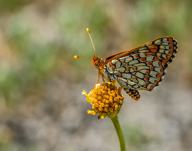 Carmentis Checkerspot Butterfly