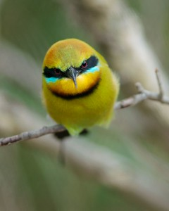 Angry bee-eater