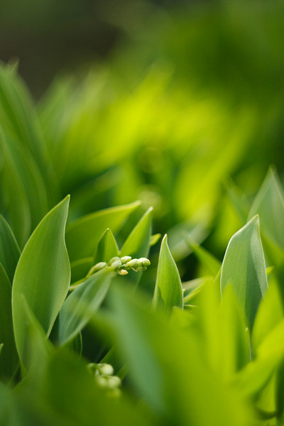 Soft green lily-of-the-valley buds