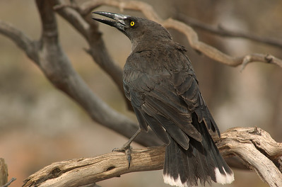 Grey Currawong - Gluepot Reserve